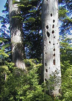 A pair of more fortunate snags stand as wildlife trees, near Lost Lake