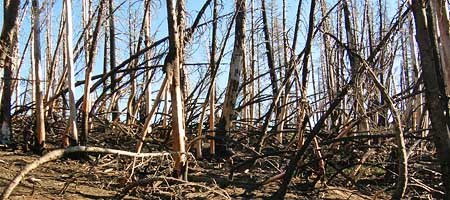 The aftermath of the 2006 Bluegrass Fire ranged from total destruction in areas like this, to mosaic patterns where less crowded forests existed