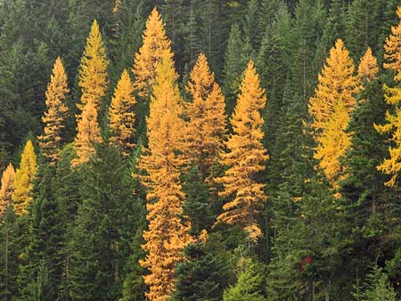 Western larch light up the eastside forests in autumn. Larch are among the fire-resistant species that require periodic burns for their long-term health