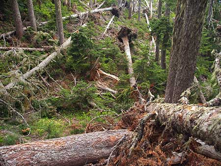 These trees along the Vista Ridge Trail are victims of the Boundary clear cut, having been exposed to high winds by the removal of adjacent forests.