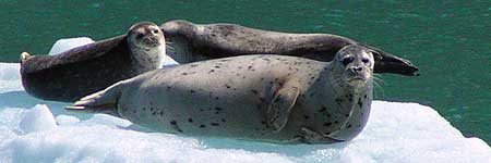 Harbor seals basking in Alaska's Tracy Arm