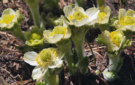 The blossoms of the Western Pasque Flower emerge just after snow melt