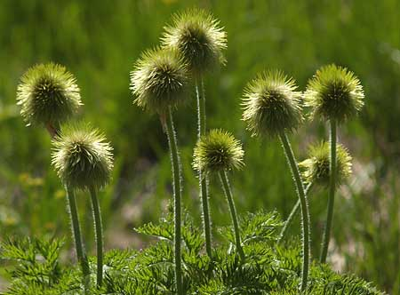 The second phase of the Western Pasque Flower, when the new seedheads are in their sea anemone form