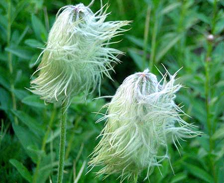 The final phase of the Western Pasque Flower, when it becomes the Old Man of the Mountains