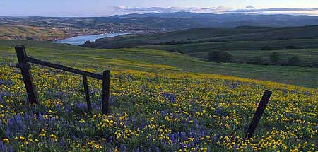 Balsamroot blankets the Dalles Mountain nature preserve in spring; Mount Hood rises from the clouds on the horizon, above the Columbia River and the town of The Dalles