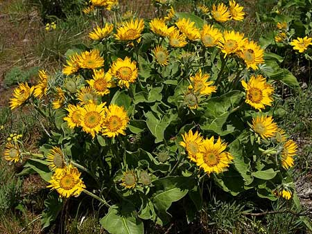 A typical balsamroot in spring, nearing peak bloom