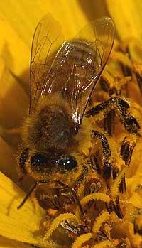 Honeybee on a balsamroot
