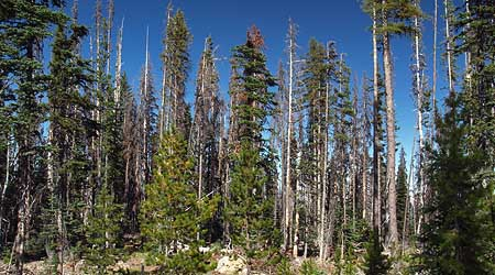 A closer view of typical second-growth forests near Lookout Mountain reveals a dying, overcrowded ecosystem under great biological stress.