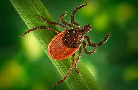 The one to watch for: Western Black-Legged Tick (Source: Public Health Image Library)