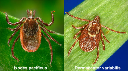 Black-Legged tick (left) compared to common Wood tick (right)