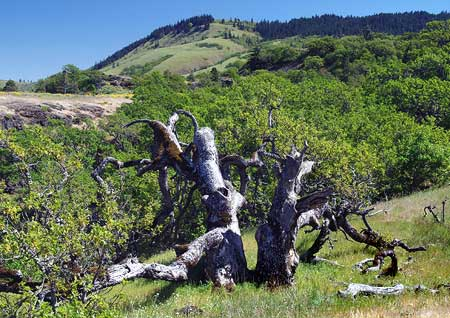 The Rowena Oak