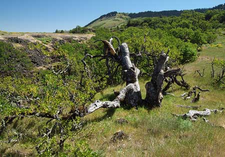 The Rowena Oak with Sevenmile Hill in the distance