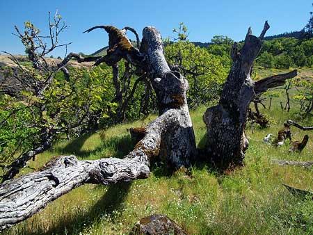 A closer look at the sprawling Rowena Oak