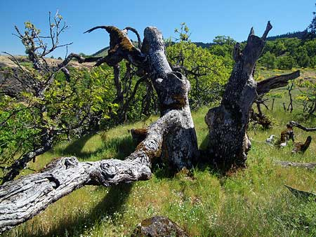 A closer look at the sprawling Rowena Oak