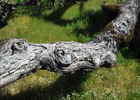 "The huge, contorted limbs of the Rowena Oak have ""eyes"" that seem to be watching curious visitors!"