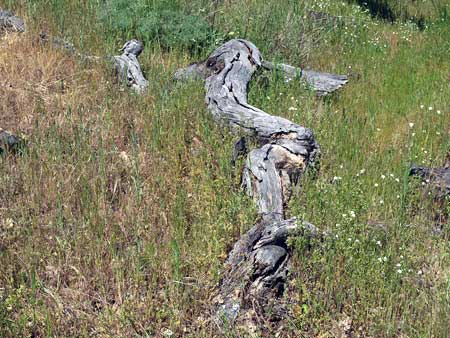 "One of the many bleached ""bones"" that help tell the survival story of the Rowena Oak"