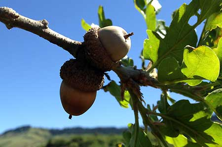 A few acorns from last season are still attached to the Rowena Oak