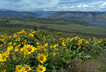 Springtime balsamroot atop McCall Point on the upper trail
