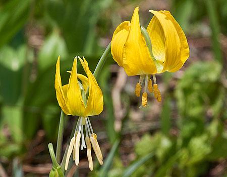 Glacier Lily (Wikimedia)