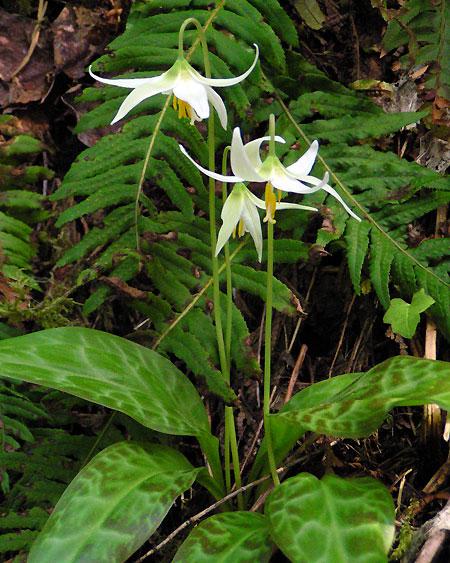 Oregon Fawn Lily