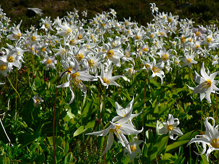 Typical field of Avalanche Lily (USDA)