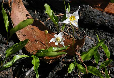 Avalanche Lily was among the few plants to survive the 2011 Dollar Lake Fire on Mount Hood