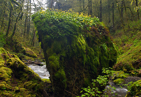 "A favorite habitat for Glacier Lilies in the Columbia Gorge is atop boulders, like this one along Moffett Creek, where they form blooming, yellow ""caps"" in spring"