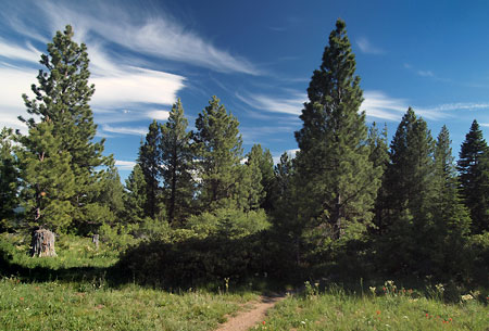 Recovering ponderosa forests in the area are a reminder of the clearcutting heyday of the 80s and 90s