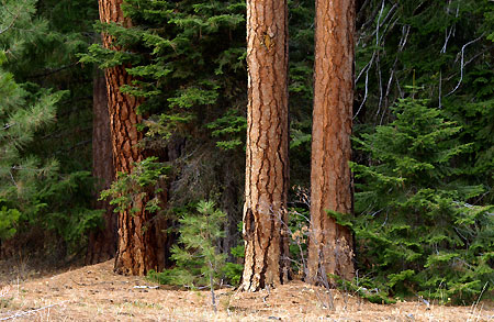 Stands of large ponderosa and larch are still intact within the canyons of the Eightmile NRA