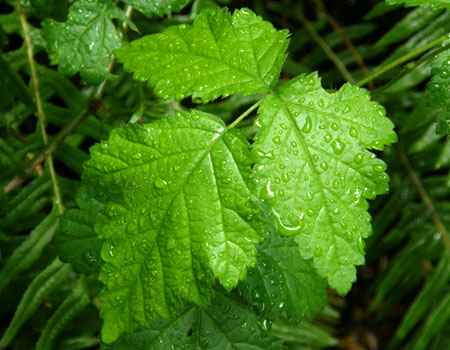 A polarizer allows the droplets of rain to stand out on this very wet bramble leaf, not the reflection of the sky