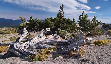 Ancient Whitebark pine on Gnarl Ridge