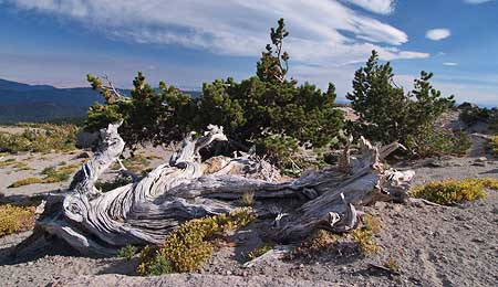 Ancient Whitebark pine on Gnarl Ridge