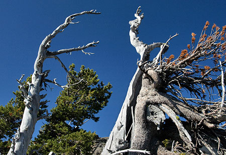 Ancient Whitebark pine grove on Lookout Mountain