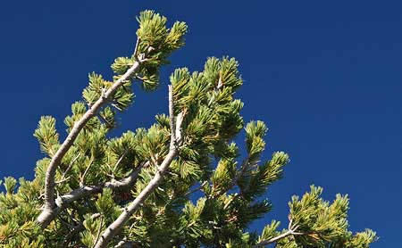 Whitebark pines have limber branches to withstand the elements