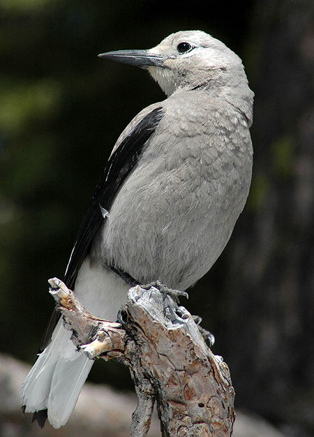 Clark's Nutcracker at Crater Lake (Wikimedia)