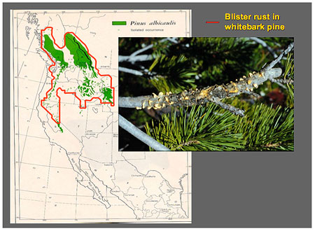 Blister rust (boundary shown in red) has affected almost all Whitebark pine range (green) in North America