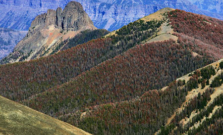 Massive Whitebark pine die-off in Yellowstone (USFWS)