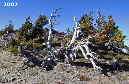 Whitebark patriarch near the summit of Lookout Mountain beginning to show stress in 2002