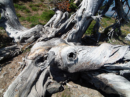 At its center, the patriarch Whitebark sprawls like an octopus, with five major trunks, each more than a foot in diameter