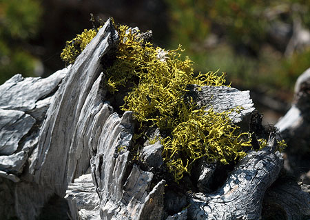 The bleached bones where the patriarch tree has died back can survive for decades in the arid alpine climate of Lookout Mountain
