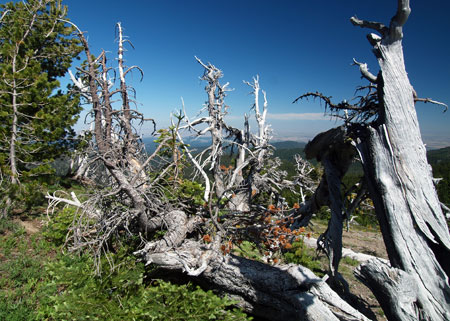 This view shows the north trunk of the Patriarch tree, thriving as recently as 2002, but now reduced to a thicket of dead shoots