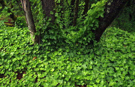 Rampant English ivy is among the unwelcome traces of the Little Boy Ranch era at Mitchell Point