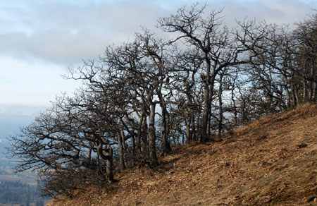 Oregon white oak in the Gorge often grow in picturesque, stunted groves on the harshest of sites