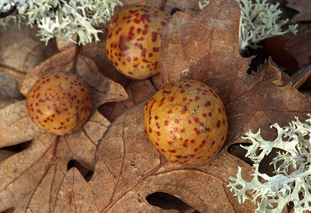Oak galls are formed by wasp larvae, and are common on Oregon white oak leaves