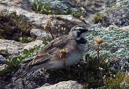 Horned lark at Cooper Spur