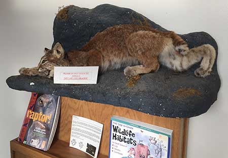 A particularly menacing bobcat is on display!