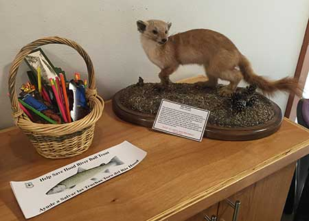 This Pine Marten is in charge of the Bull Trout bumper stickers…
