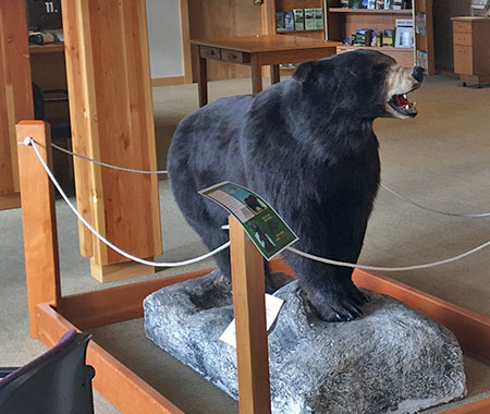 Black bear roaming near the front desk