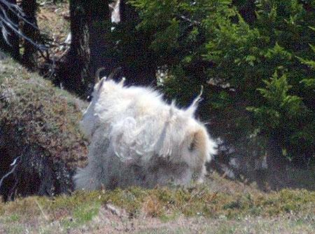The lone WyEast goat on Yocum Ridge skedaddles (Photo courtesy William Imholt)