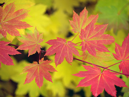 Vine maple colors range from pale yellow (in shade) to bright crimson (in full sun)